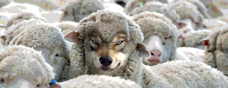 bad wolf sheep